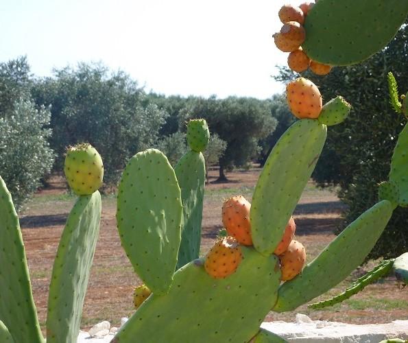 Garten Apulien Kakteen