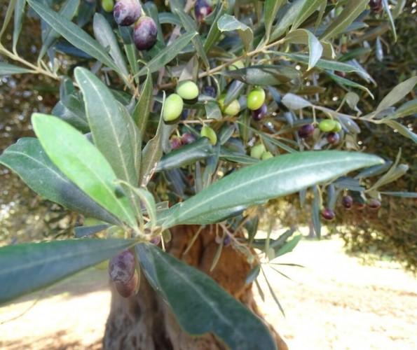 Olivewn aus Apulien