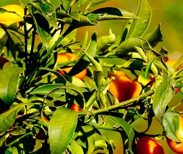 Orangenbäume am Mittelmeer